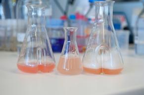 Um größere Mengen für die Untersuchungen zu erhalten, lässt man die Zellen unter Schütteln in einem Glaskolben wachsen. Bild: Elvira Eberhardt/Universität Ulm