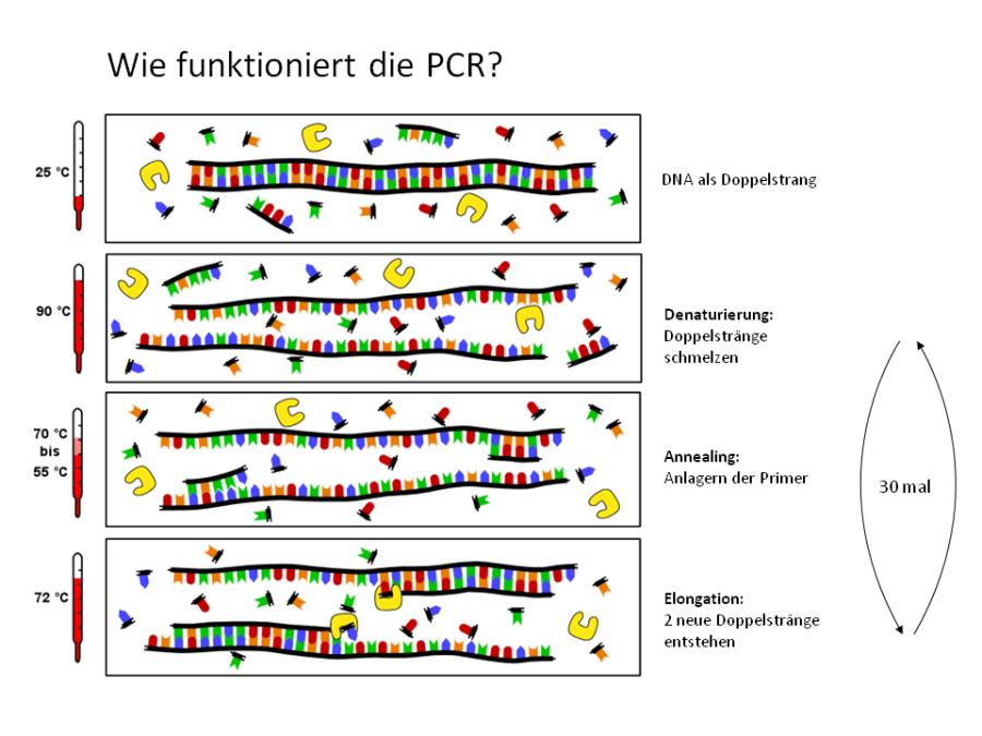 PCR prinzip