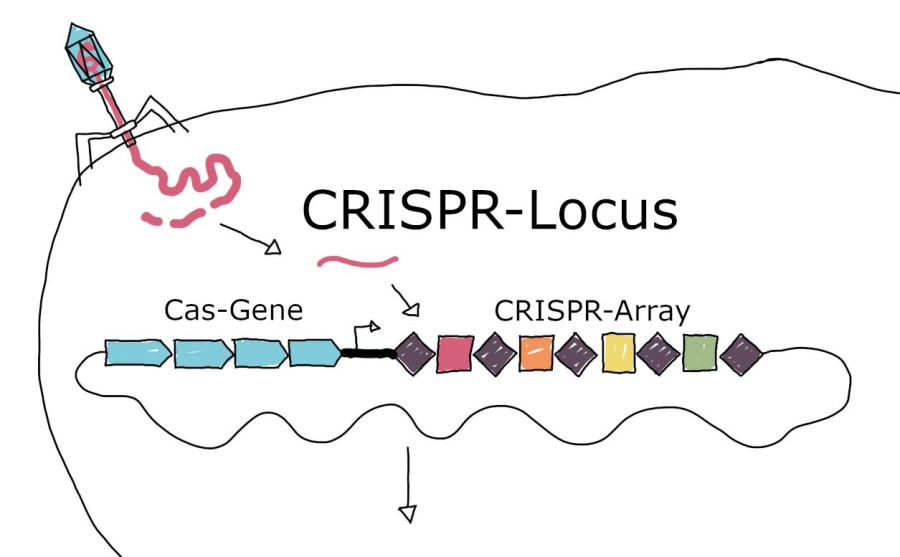 Ausschnitt CRISPR-Lokus