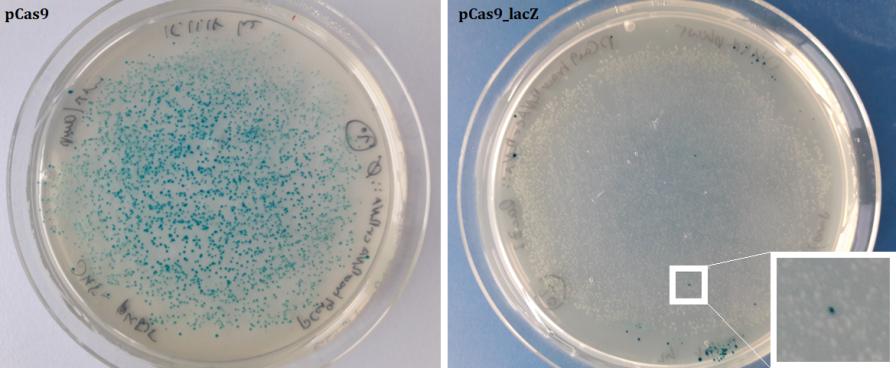 """Agarplatten mit blauen, nicht geCRISPRten (links) und weißen, geCRISPRten (rechts) Escherichia coli-Kolonien aus dem CRISPR-Experiment. Im Kasten (rechte Platte) ist ein blauer """"Ausreißer"""" zu sehen. Aus: H. Ziegler, W. Nellen, CRISPR-Cas experiments for schools and the public, Methods (2019), doi: https://doi.org/10.1016/j.ymeth.2019.08.009"""