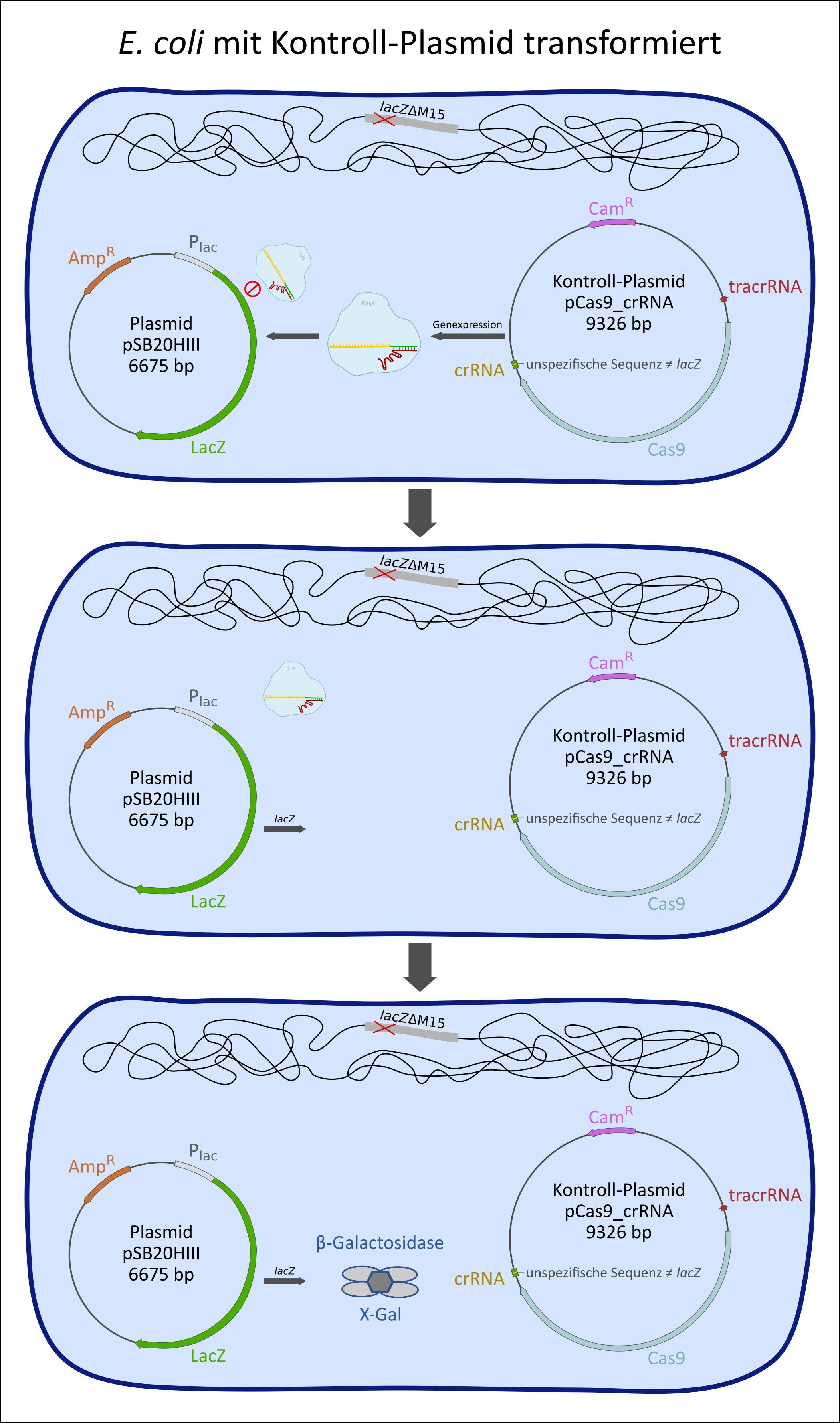Bakterienzelle mit Kontroll-Plasmid