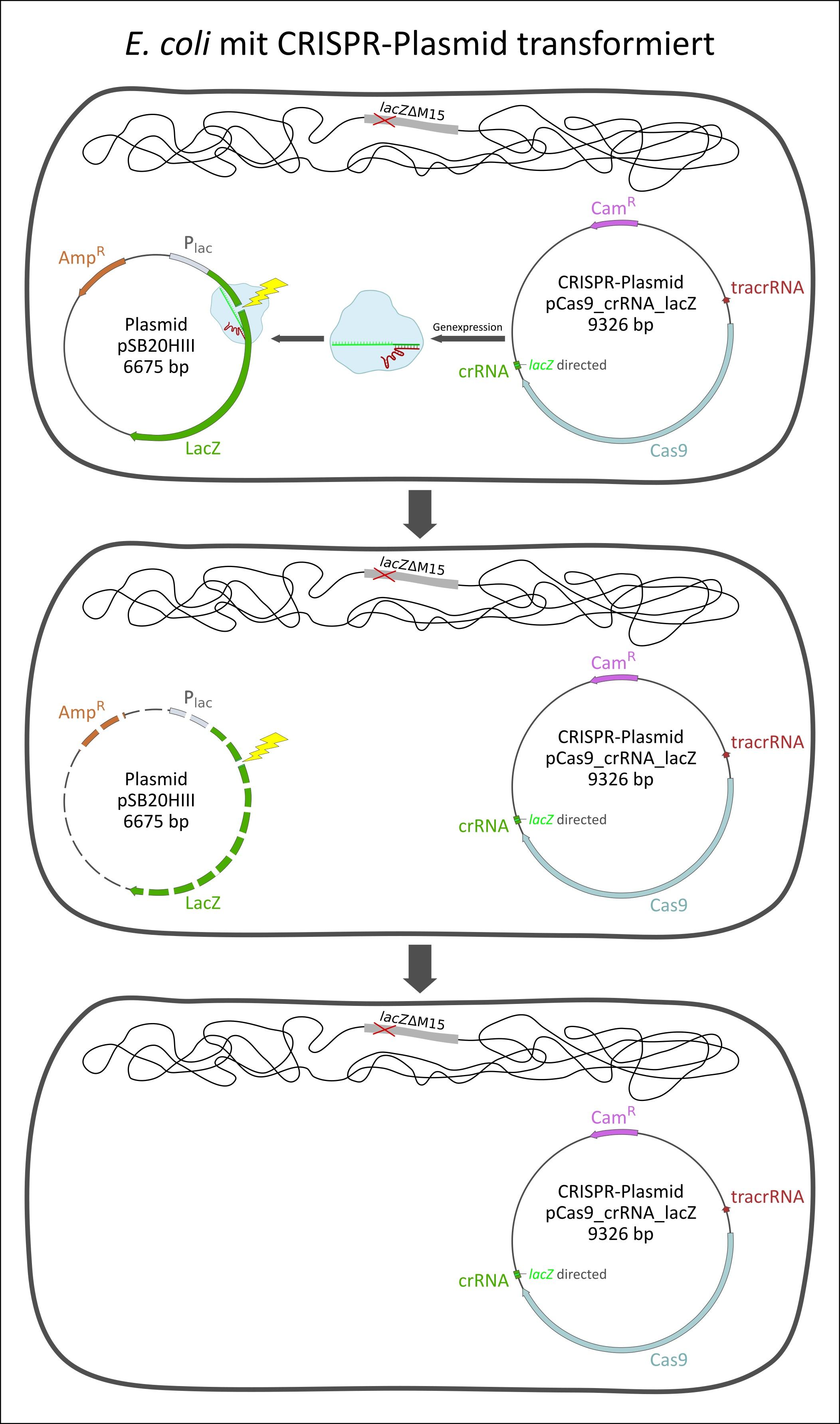 Bakterienzelle mit CRISPR-Plasmid