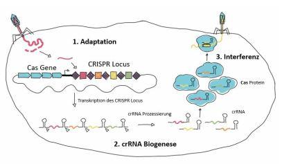 CRISPR-Cas, das adaptive Immunsystem der Bakterien und Archaeen. 1. Adaptation, Aufnahme der Virus-DNA ins eigene Genom, in den CRISPR-Locus, 2. crRNA-Biogenese, 3. Interferenz, Virusabwehr durch den CRISPR-Cas-Effektorkomplex. Illustration Lukas Kummer