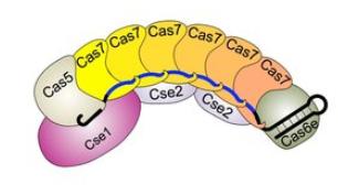 CRISPR-Komplex